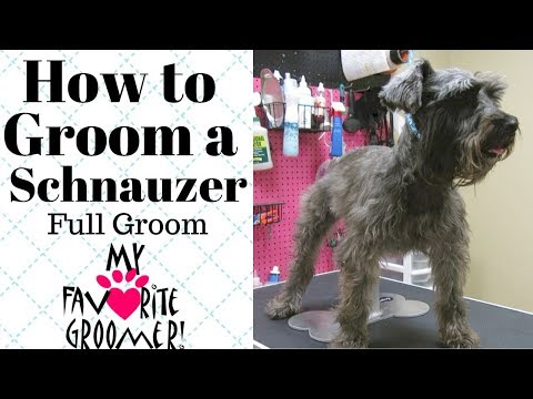 How to Groom a Schnauzer