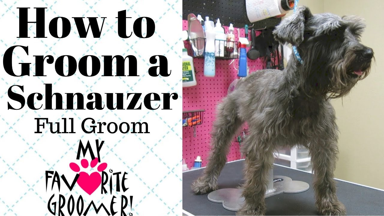 How To Groom A Schnauzer You