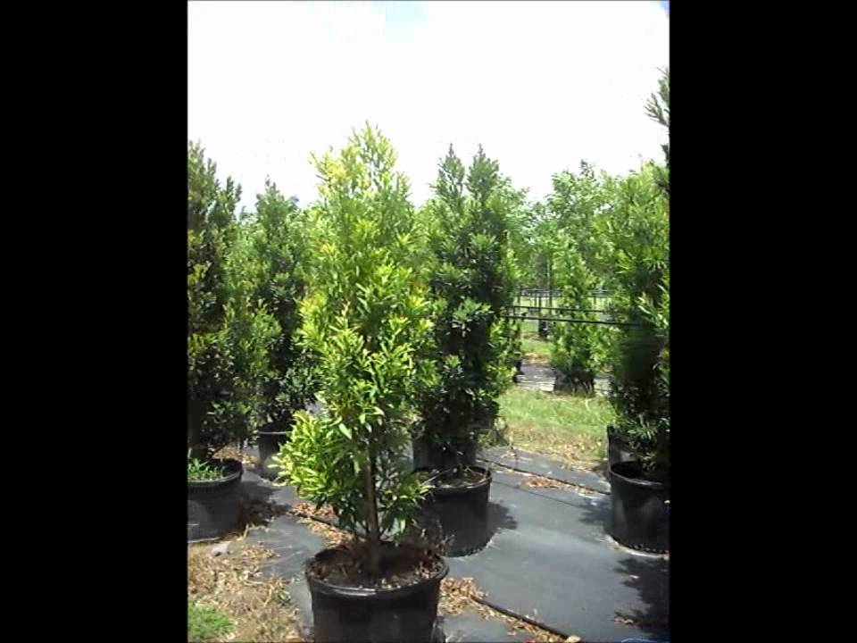 Japanese Blueberry Trees Elaeocarpus Decipiens Youtube