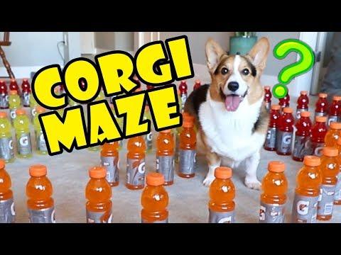 Corgi Maze Challenge Fails — Building a Dog Maze    Extra After College
