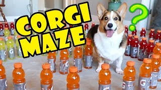 Corgi Maze Challenge Fails - Building a Dog Maze || Extra After College