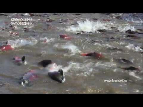 Salmon spawn. Нерест