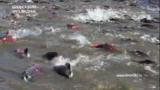 видео: Salmon spawn. Нерест нерки