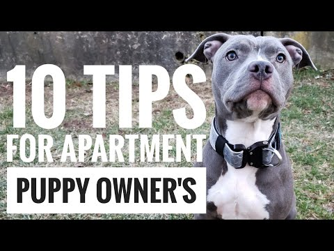 Training a puppy pitbull for beginners