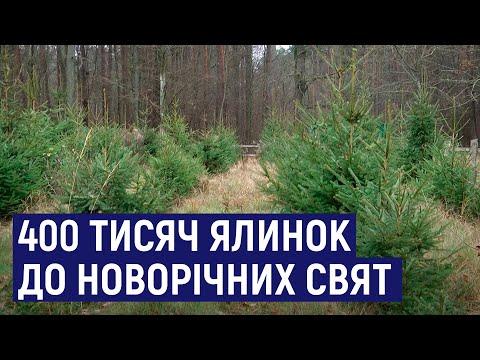 Суспільне Житомир: Лісівники Житомирщини до новорічно-різдвяних свят підготували 400 тисяч хвойних дерев