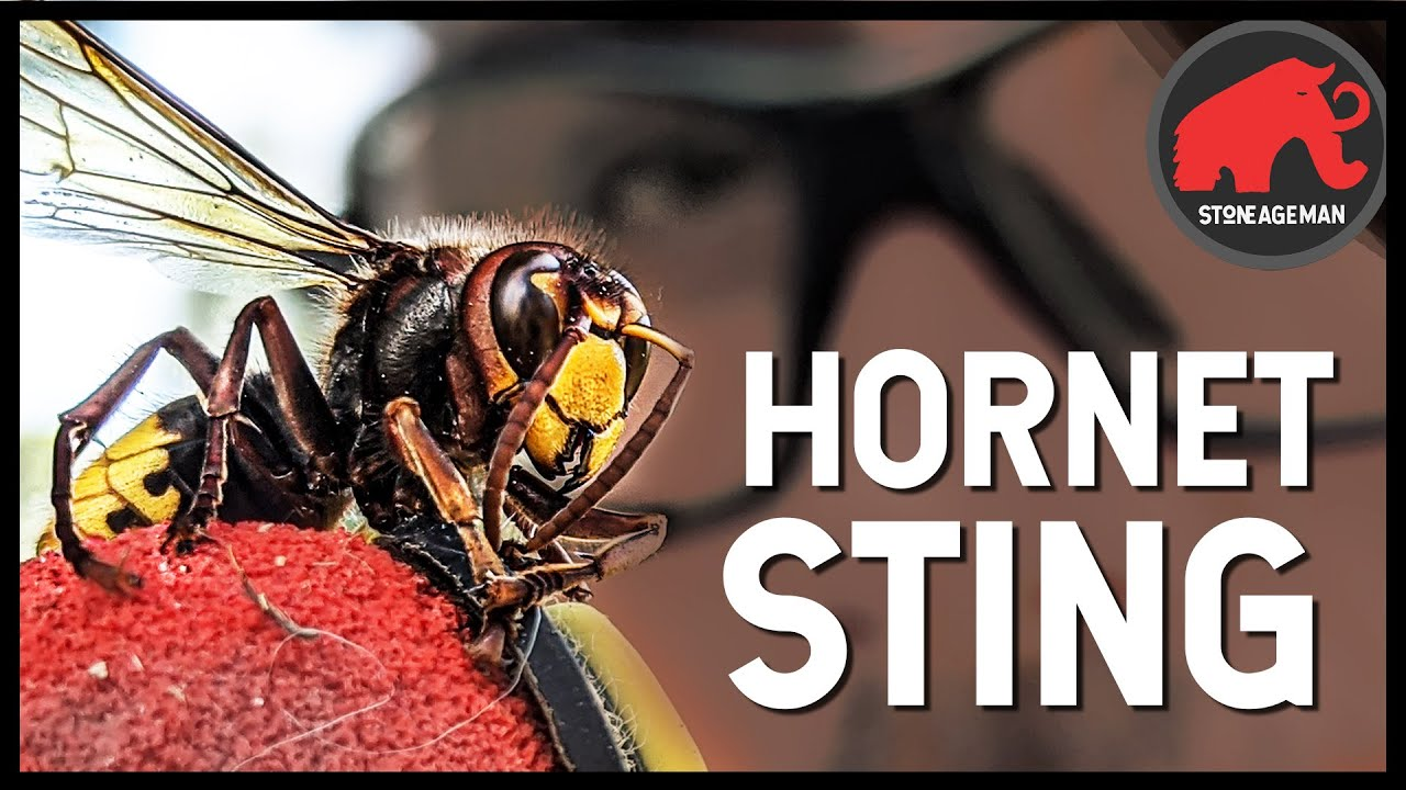 Download STUNG BY A GIANT HORNET (IN SLOW-MO)