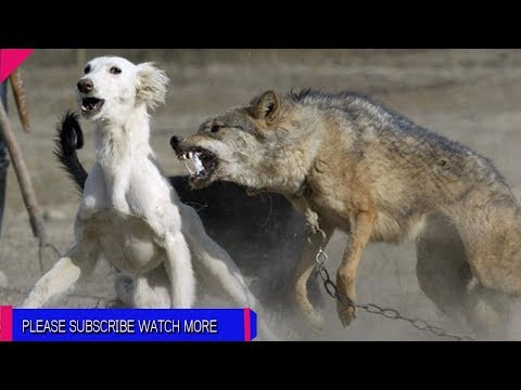 animal attack videos and wildlife animals_by Amazing Daily