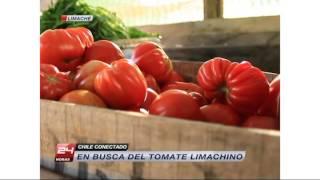 Chile Conectado - En busca del tomate limachino