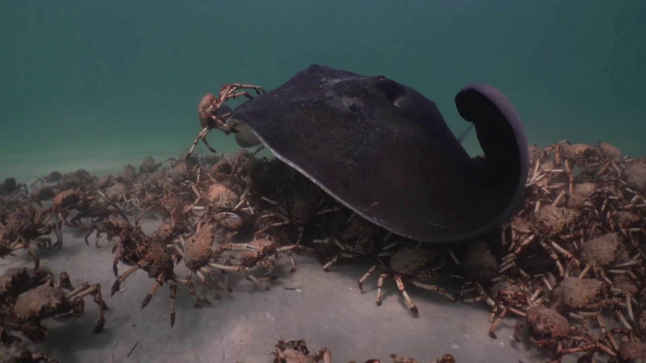 Sting Rays harassing crabs . A short story.