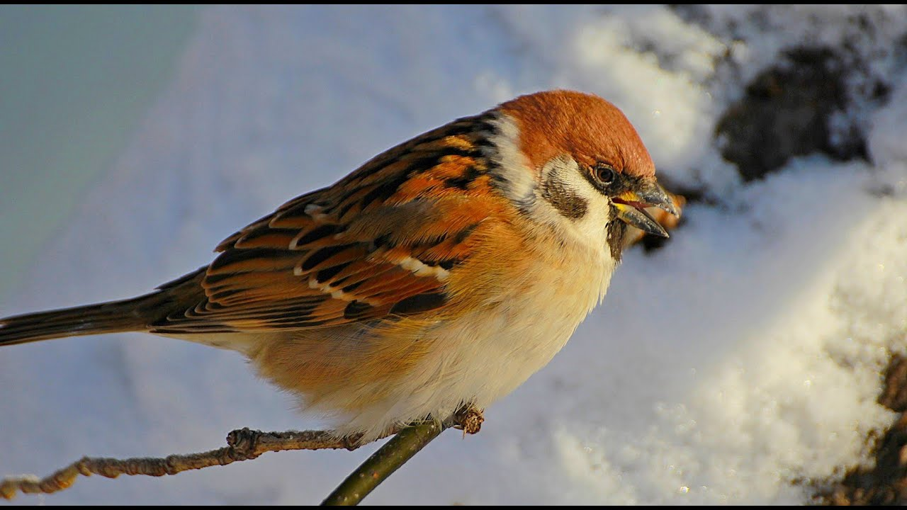 брали, зимующие птицы картинка воробей немного, этом