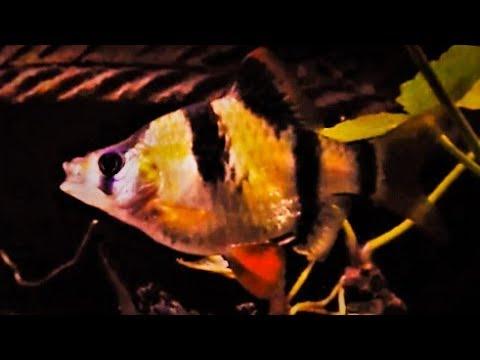 Tiger Barb Care | Tank Set Up | Male | Female | Information