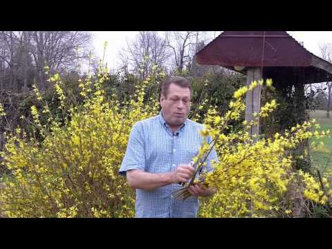 Using Forsythia For Flower Arrangements