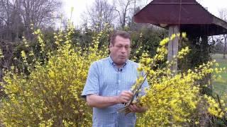 Using Forsythia For Flower Arrangements