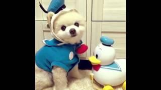 Shunsuke俊介君's BGM-(the cutest dog in the world) 俊介くん 検索動画 19