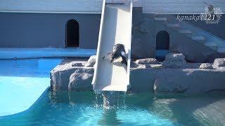 2017年3月24日生まれのホクト。ペンギンの行進の最後に滑り台へ駆け込み...