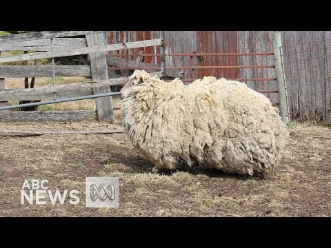 Tasmanian sheep narrowly misses record-breaking fleece