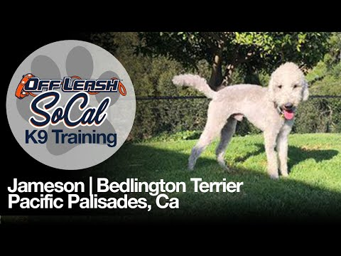 Bedlington Terrier Off Leash Dog Training  Jameson | Pacific Palisades, CA.  |  OffLeash SoCal
