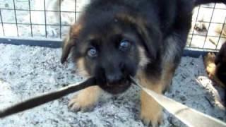 German Shepherd And Labrador Puppies