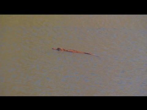 Orange alligator spotted in Hanahan