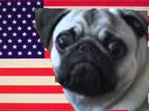 American National Anthem Meets Dramatic Pug Youtube