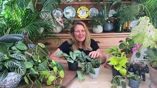 Scindapsus pictus or Satin Pothos houseplant care