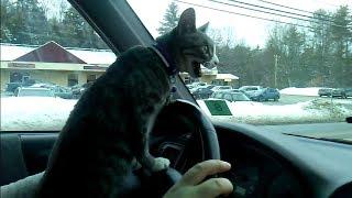my cat loves car rides