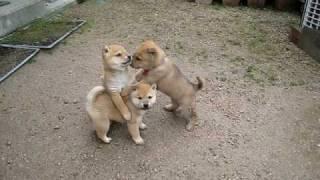 仲良し柴犬兄弟♪雨上がりに遊ぶ子犬たちが可愛い
