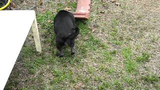 Pug Having Leg Seizure - 1 Of 4 By Followthattrail