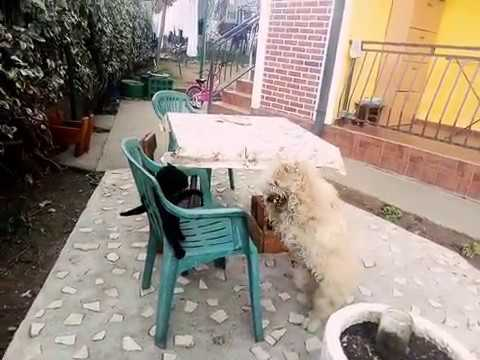 Cat vs Dog (fight)