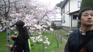 Oldest Cherry Blossom tree in Matsumae