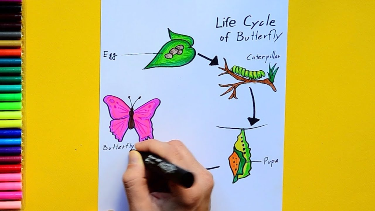 How To Draw And Color Lifecycle Of A Butterfly Labeled Science