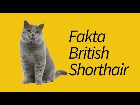 10 Fakta Unik British ShorthairWAJIB tahu!