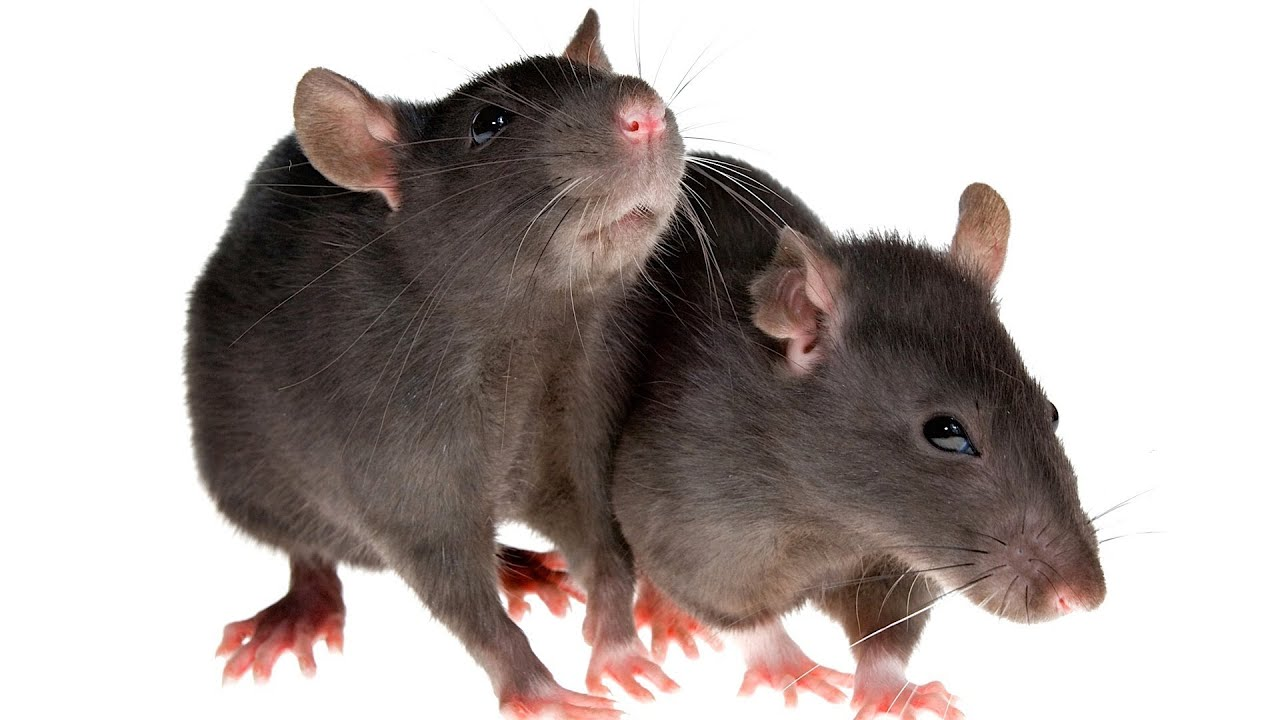 How To Socialize A Rat Pet Rats Youtube