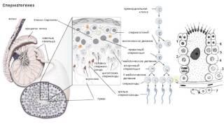 Биология в картинках: Строение яичка и сперматогенез  (Вып. 25)
