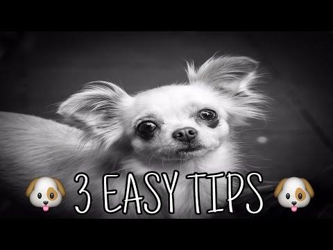 ***How To Potty Train A Chihuahua Potty Training Chihuahua Puppies - FREE Mini-Course***