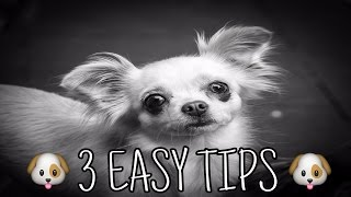***How to Potty Train a Chihuahua Potty Training Chihuahua Puppies - FREE Mini-Course***