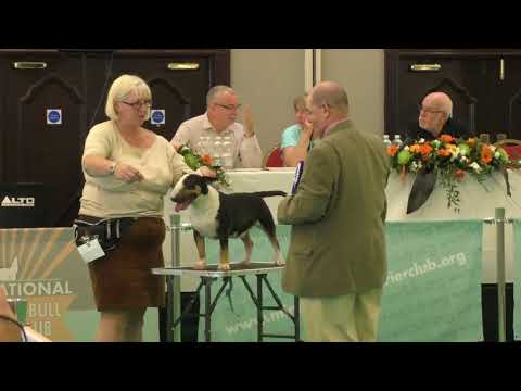 Miniature Bull Terrier Bellalu Catuvellauni Dog show