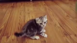 Игривый шотландский прямоухий котёнок с окрасом рекламы вискас ищет родителей! Питомник Роял Кэтс