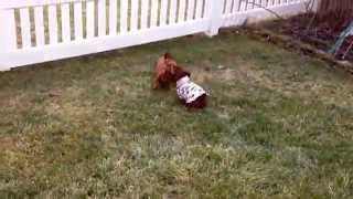Lokie The Dachshund Takes Off Her Sweater By Running