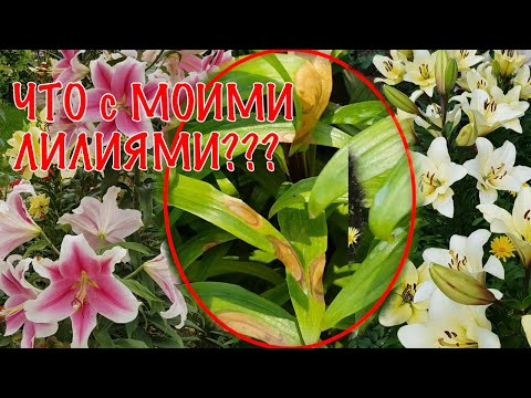 Чем болеют лилии и как лечить