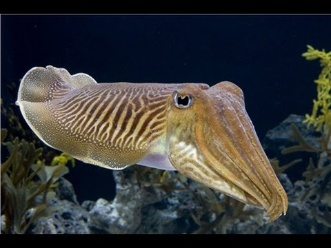 Facts: The Australian Giant Cuttlefish