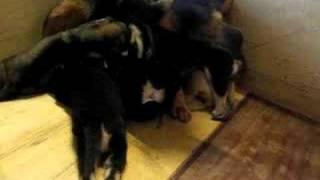 五隻狗BB, 爭住霸頭位食奶奶! 一於死迫!