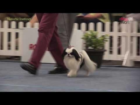 Scottish Kennel Club 2016 - Toy group Shortlist