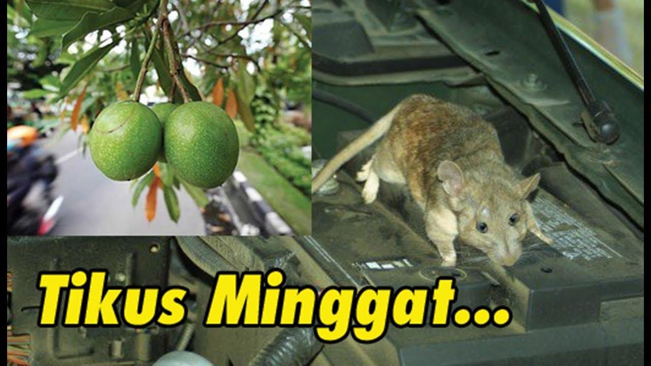 Mengusir Tikus Bersarang Di Kap Mesin Mobil Dengan Buah Simpalak Youtube