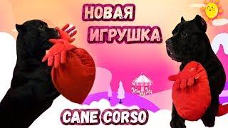 Нова іграшка у собаки Кане Корсо #canecorso