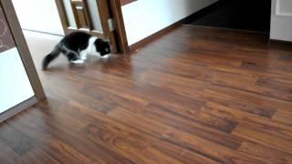 Моя кошка сибирская :) _ My cat  Siberian :)