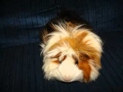 My Guinea Pigs Photos!