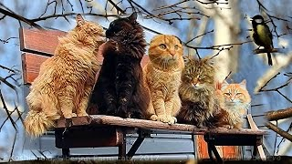 #Koshlandia Siberian Farm cats Bench  Tit Sings Скамейка Сибирские кошки