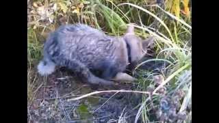щенок западно-сибирская лайка 2 месяца