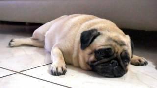 sophia the bipolar pug